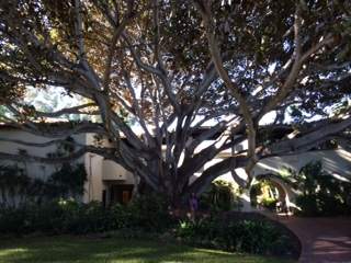 Majestic Fig Tree at Four Seasons Resort The Biltmore
